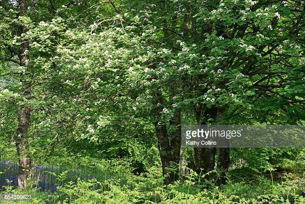 May blossom,white hawthorn in woodland.