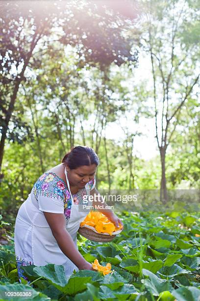 mayan woman picking squash blossoms in a garden. - merida mexico stock photos and pictures