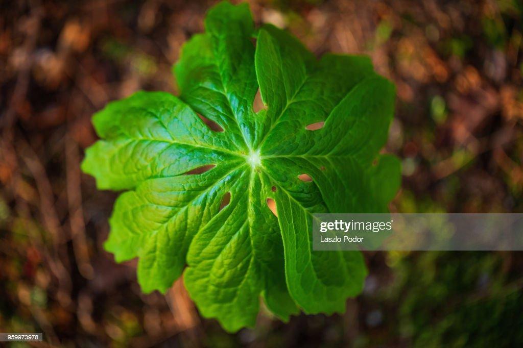 Mayapple (Podophyllum) : Stock-Foto