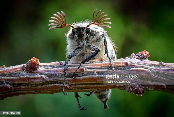 Maybug beetle climbs on a plant at a garden outside Moscow on May 14, 2021.