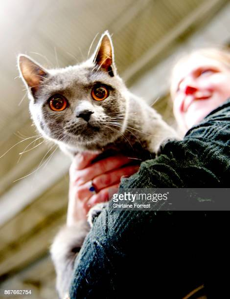 Mayday Du Chevrefeuille a Russian Blue Cat participates in the GCCF Supreme Cat Show at National Exhibition Centre on October 28 2017 in Birmingham...