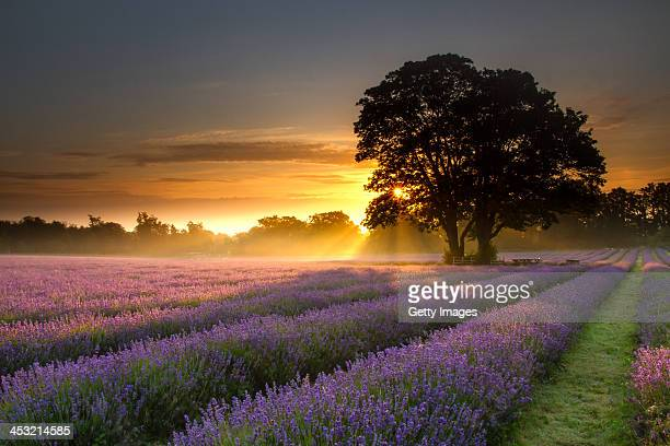 Mayfair lavender at sunrise