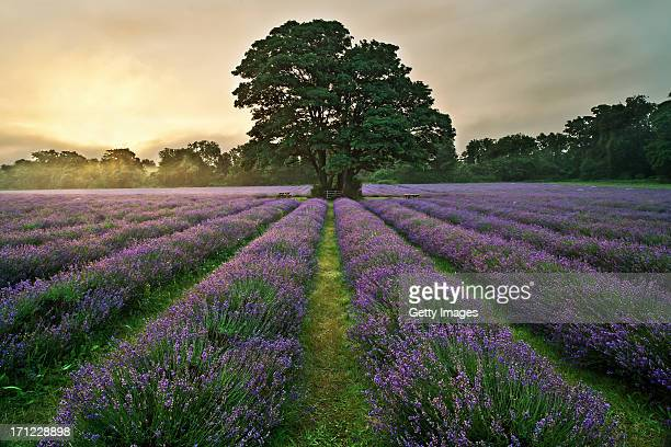 mayfield lavender - surrey england stock pictures, royalty-free photos & images