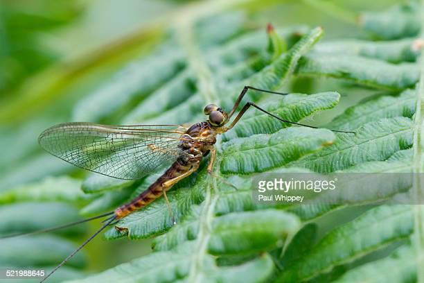 mayfly -ephemeridae-, male, on bracken frond, south wales, united kingdom - mayfly stock pictures, royalty-free photos & images