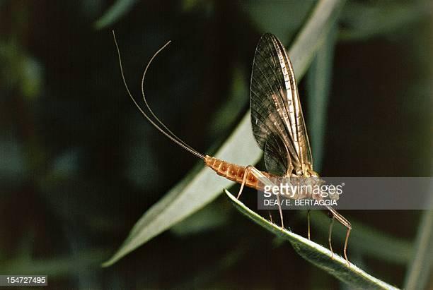 Mayfly Ephemeridae