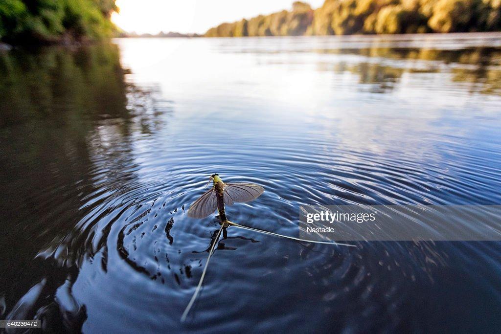 Mayfly (Polingenia longicauda) in the Tisza River : Stock Photo