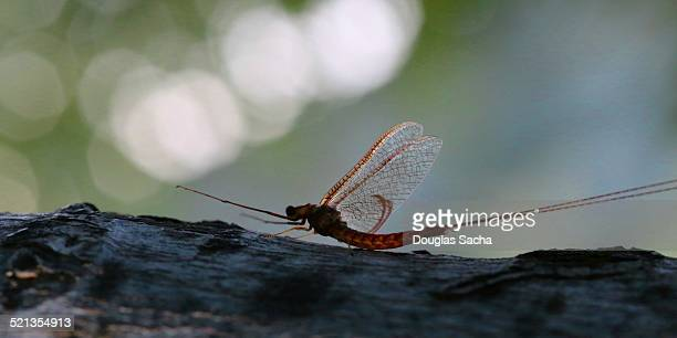 mayfly landed - mayfly stock pictures, royalty-free photos & images