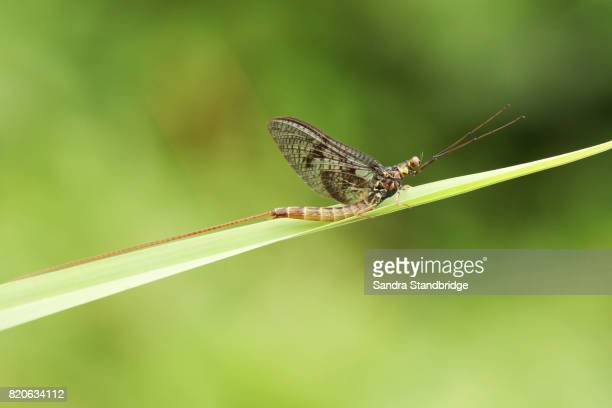 a mayfly (ephemeroptera) perched on a blade of grass. - mayfly stock pictures, royalty-free photos & images