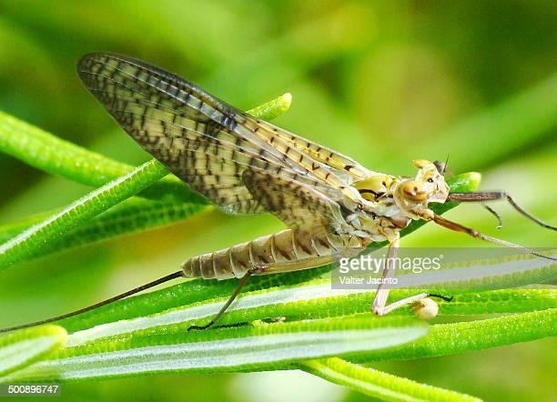 mayfly (ecdyonurus aurantiacus) - mayfly stock pictures, royalty-free photos & images