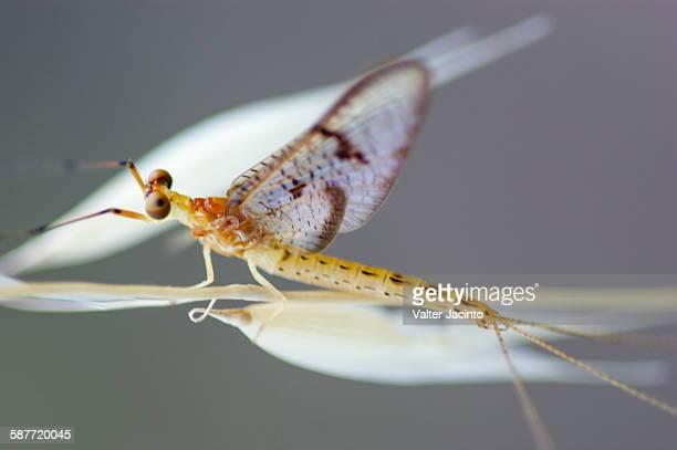 mayfly (ephemera glaucops) - mayfly stock pictures, royalty-free photos & images