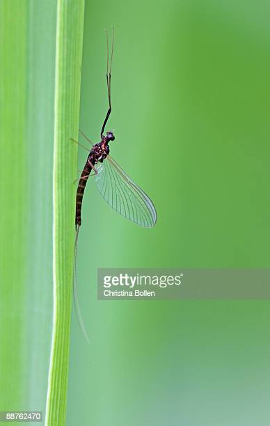 mayfly (order ephemoptera) resting, yorkshire, july - mayfly stock pictures, royalty-free photos & images