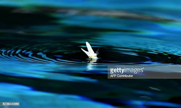 A mayfly sits on the water prior to a semifinal water polo match between Croatia and Serbia at the FINA2017 world championships on July 27 in the...