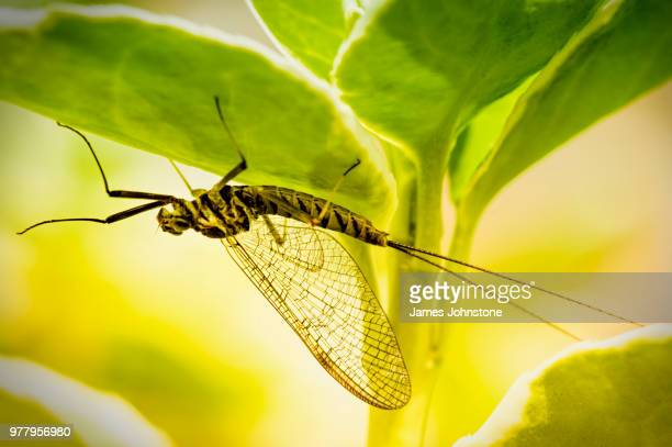 mayfly under leaf - mayfly stock pictures, royalty-free photos & images