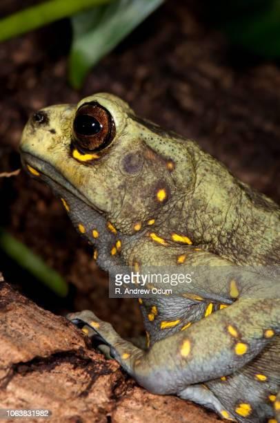 Maylasan Tree toad