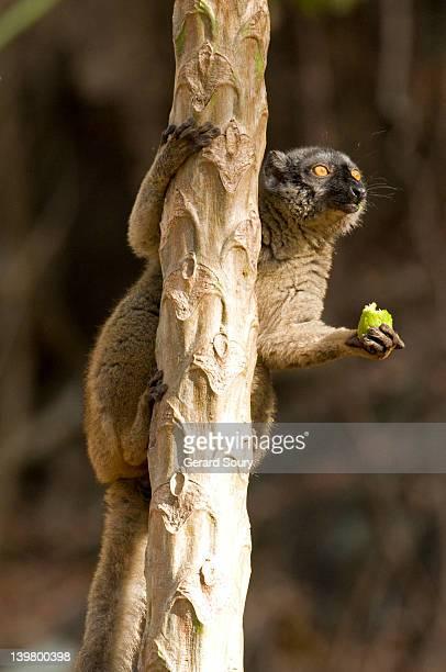Mayotte Lemur (Eulemur Fulvus Mayottensis) eating fruit, Mayotte, Indian Ocean