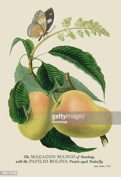 Mazagon Mango and the Papilio Bolina