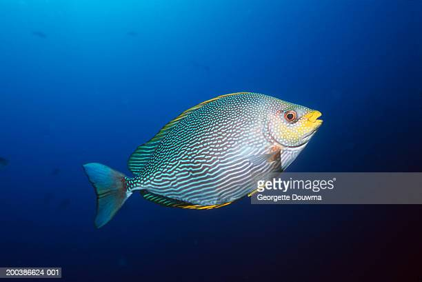 maze rabbitfish (siganus vermiculatus) - fish stock pictures, royalty-free photos & images