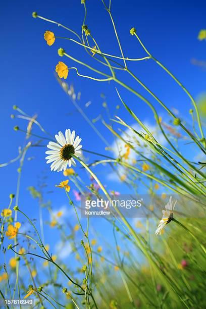 Wiese mit Gänseblümchen-Blumen
