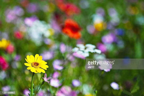 Meadow and wildflowers