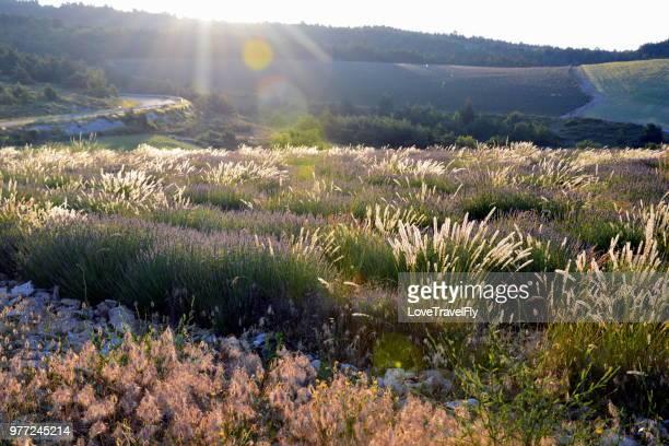 meadow at sunrise, provence, provence-alpes-cote, france - provenza alpes costa azul fotografías e imágenes de stock