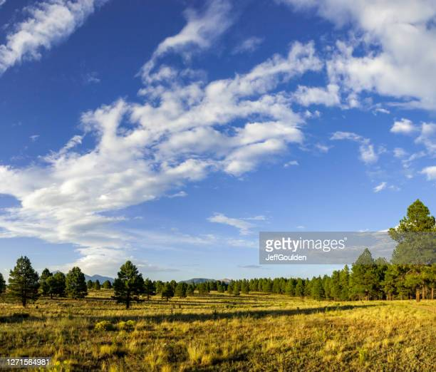 meadow bordered by ponderosa pines - jeff goulden stock pictures, royalty-free photos & images