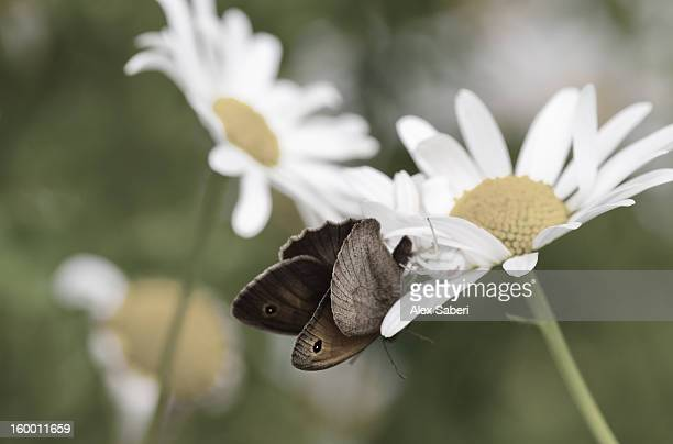 a meadow brown butterfly, maniola jurtina, feeds from a daisy flower. - alex saberi stock pictures, royalty-free photos & images