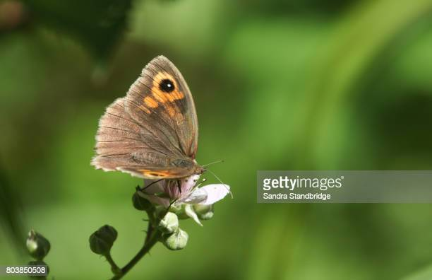 A Meadow Brown Butterfly (Maniola jurtina) nectaring on blackberry flowers.