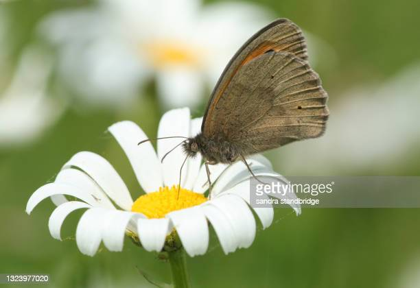 a meadow brown, maniola jurtina, pollinating an ox-eye daisy wildflower. - meadow stock pictures, royalty-free photos & images