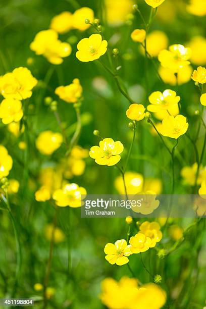 Meadow buttercups Ranunculus acris in summertime UK