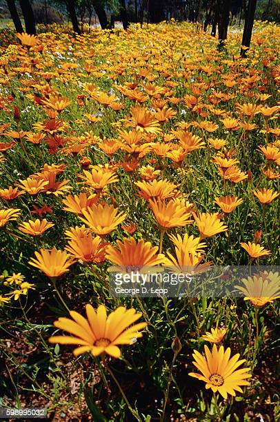 Meadow Filled with Gerbera Daisies