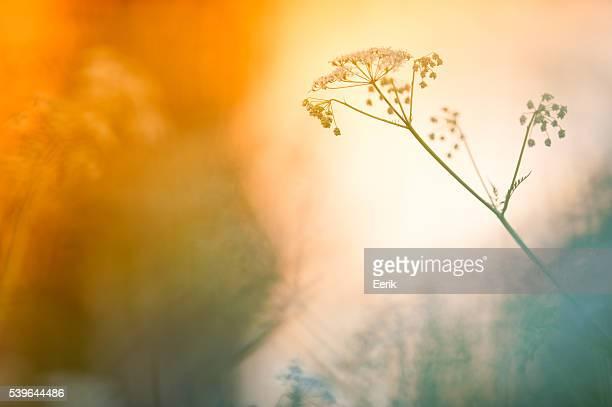 Meadow flores