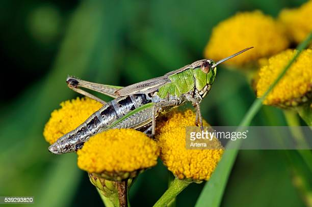 Meadow grasshopper on Tansy