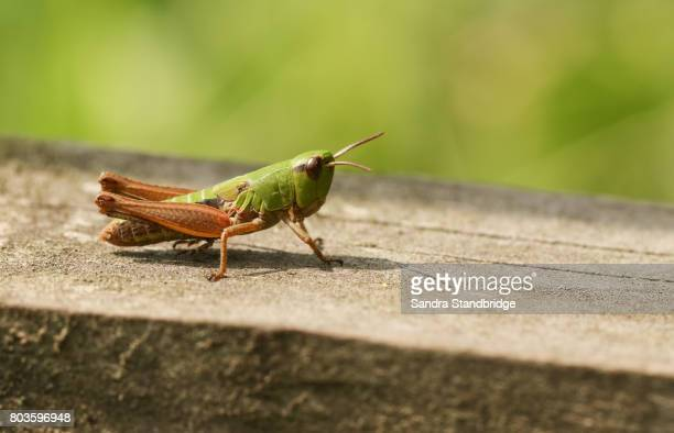 a meadow grasshopper (chorthippus parallelus) perched on a wooden fence. - cavalletta foto e immagini stock