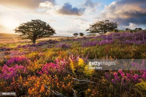 a meadow in exmoor, england at sunrise. - exmoor national park 個照片及圖片檔