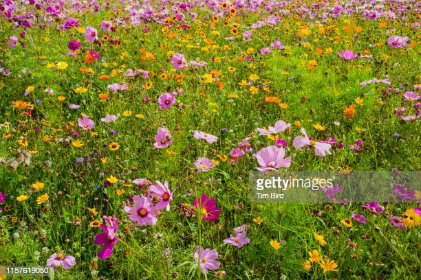 meadow in southern england. - wild flowers stock pictures, royalty-free photos & images
