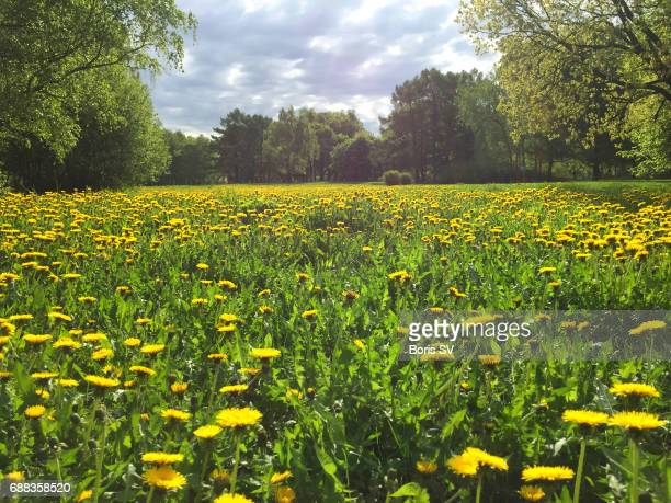 Meadow in the park covered with dandellions