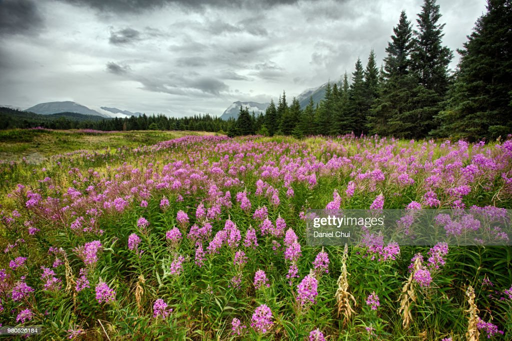 Meadow of blooming fireweeds (Chamerion angustifolium), Alaska, USA : Stock Photo
