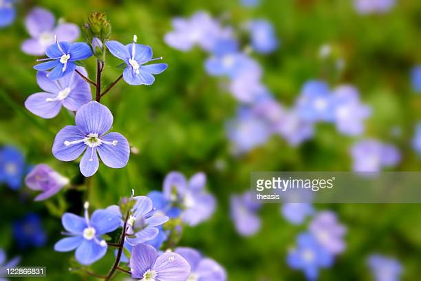 a meadow of blue and purple germander speedwell flowers - theasis stock pictures, royalty-free photos & images