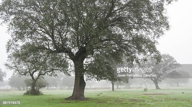a meadow of cork oaks in the fog. - extremadura fotografías e imágenes de stock