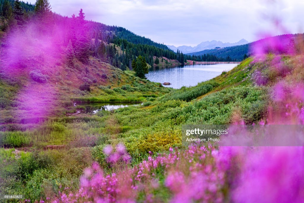 Meadow of Fireweed with Views of Gore Range Mountains Vail : Stock Photo