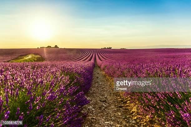 meadow of lavender in a sunny summer day, france - provenza alpes costa azul fotografías e imágenes de stock
