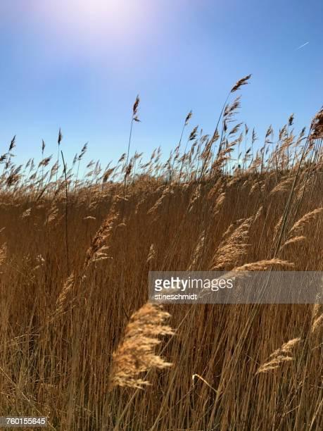 Meadow of long grass, Denmark