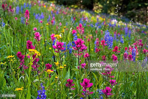 meadow of mountain wildflowers - meadow stock photos and pictures