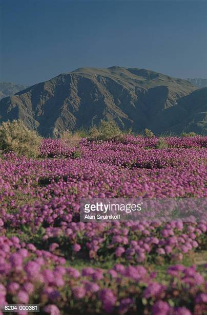 meadow of purple flowers - sirulnikoff stock pictures, royalty-free photos & images
