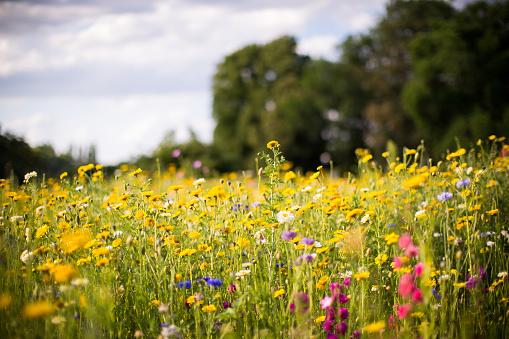 meadow of wild flowers 1076707668