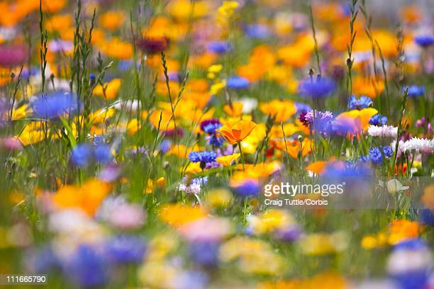 meadow of wildflowers - stratovolcano stock photos and pictures