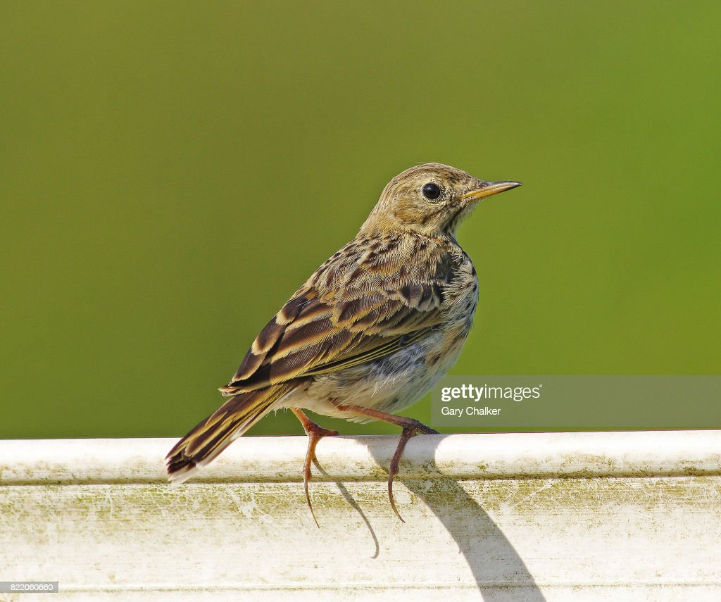 Meadow Pipit [Anthus pratensis] : Stock Photo