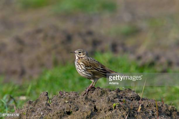 Meadow pipit foraging on molehills in grassland