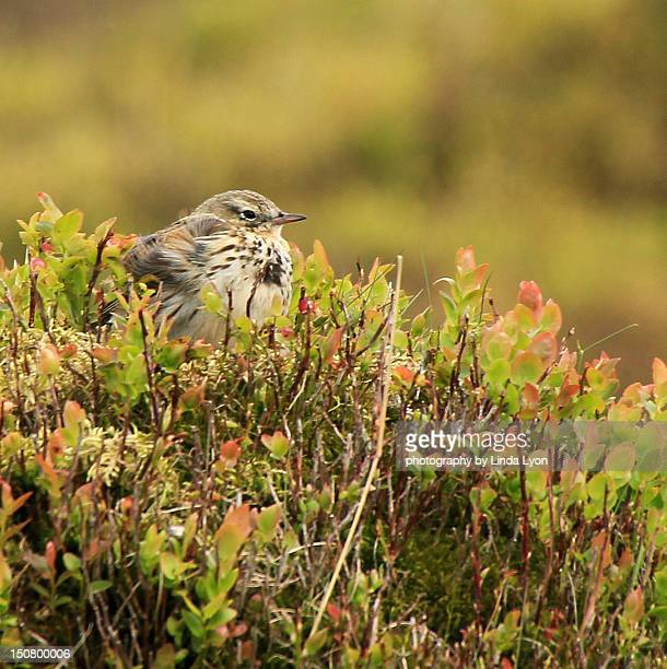 Meadow Pipit on nest