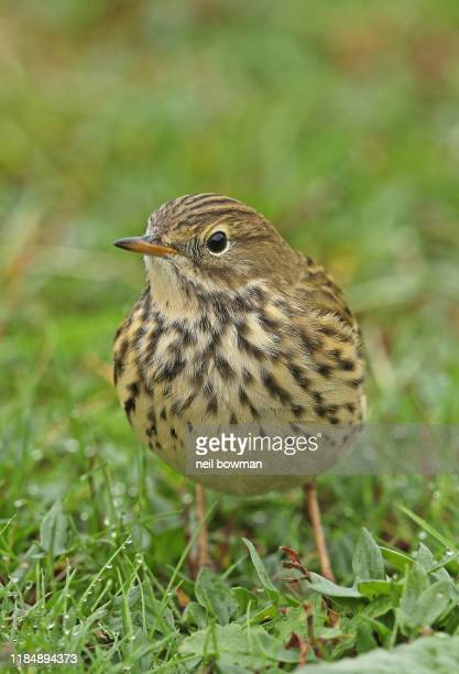 meadow pipit anthus pratensis closeup adult